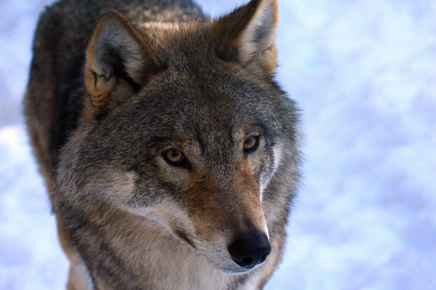 Inga spår av hund i våra vargar