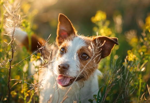 4 av 10 hundägare undviker platser på grund av fästingar