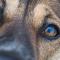 Hundens ögon som gjorda för oss