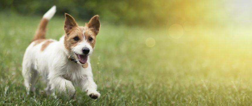 Ny jättestudie om hundars åldrande