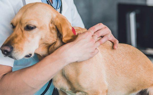 Fästingburen blodparasit hittad hos svenska hundar