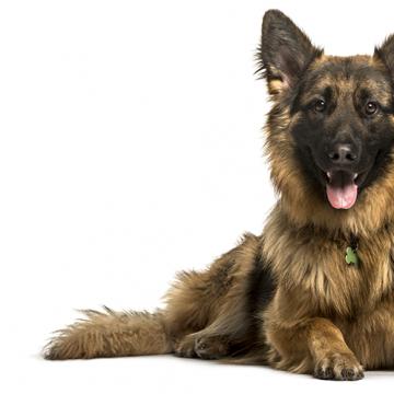 Spanske Thomas blir patrullhund i Sverige