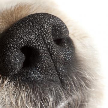 Forskare har upptäckt nytt sinne hos hunden