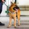 Hundar ska upptäcka covid-19