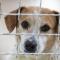 Ökade risker med att köpa hund i coronatider
