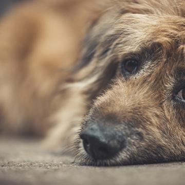 Hundsmugglare kan få fängelse