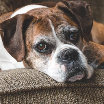 85 % av äldre hundar söker veterinärvård