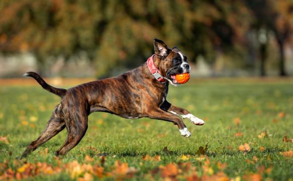Välskötta hundar lever längre