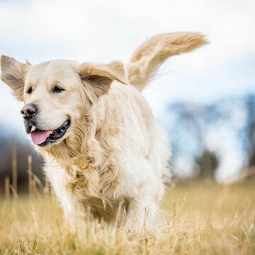 Ny donation till hundcancerforskning