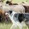 Online-seminarium om fårvallning med hund 10 december