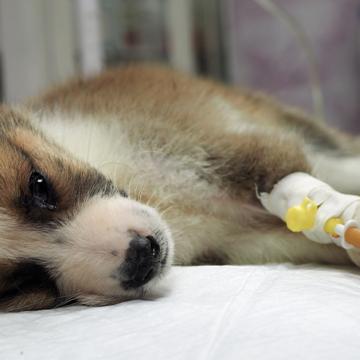 Flera fall av hundpest