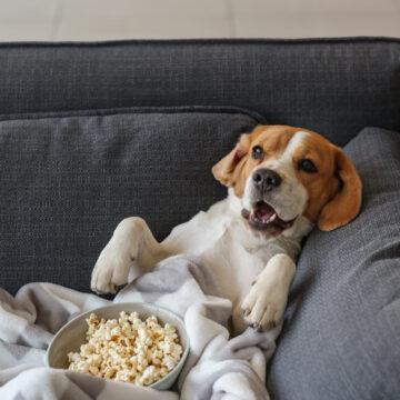 Tonårstrotsiga hundar nonchar sina ägare