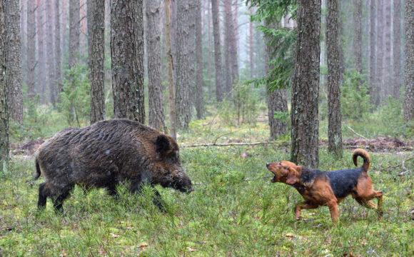 Vildsvinsattacker mot hundar ökar