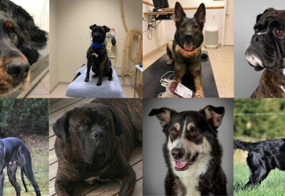 Nominerade hjältehundar till Årets Blodgivarhund