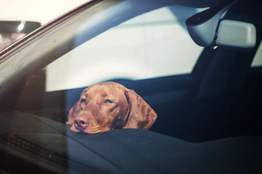 Lämna inte hunden i bilen