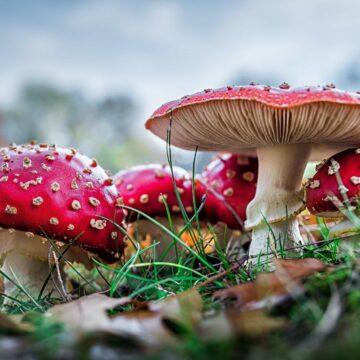 Se upp för giftiga svampar!